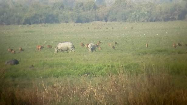 Rhinos, deers and buffaloes together in the Kohara (Central) range