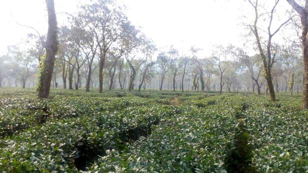 One of the tea gardens near Bagori range